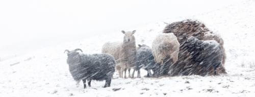 Advanced  Colour Print    CommendedIn a Snow Storm   Ralph Duckett
