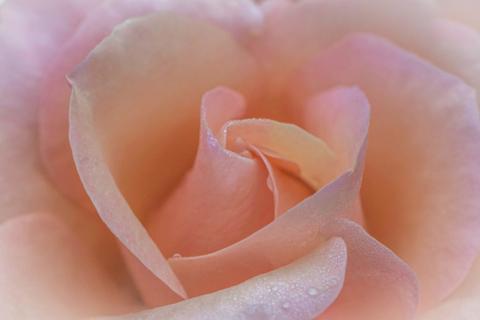 Intermediate HC - Peach Rose - Kay Marples