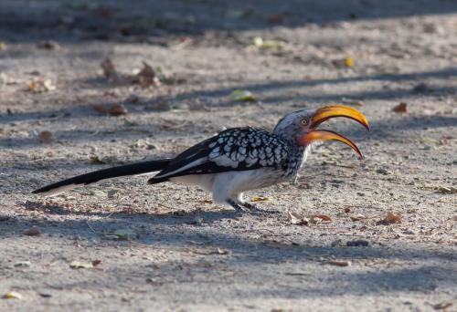 Yellow-billed-Hornbill-feeding