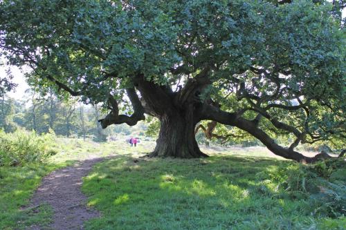 calke tree-min