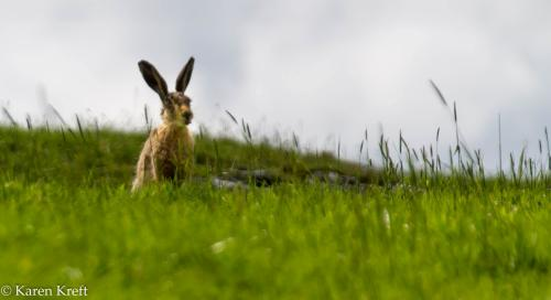 hare blowing a raspberry-min