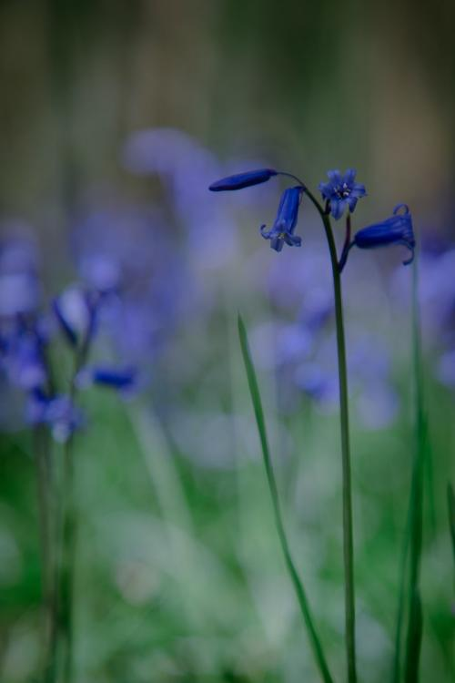 1 Bluebell