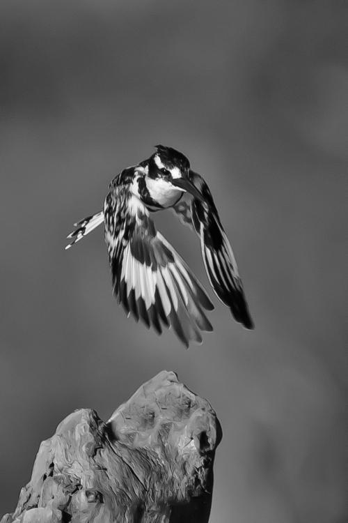 3 Pied Kingfisher A Paul Lock-min