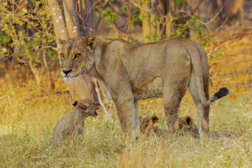 Paul Lock Lioness with cubs I-min