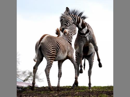 2 Playful Zebras-min