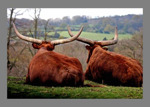 5 Ankole Cattle Looking at the View I Alan Foster-min
