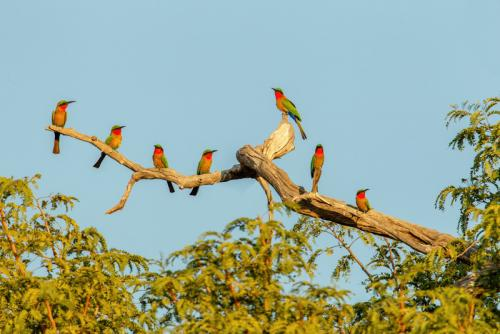 Inter Print HC Red-throated Bee-eaters I Paul Lock