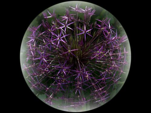 Adv pdi Comm Allium ball Ruth Hill