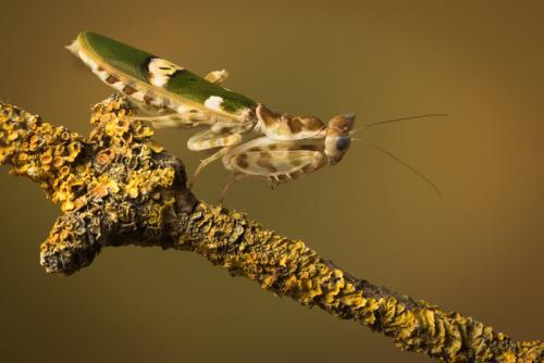 Inter Pdi 1st Place Spiny Flower Mantis Kay Marples