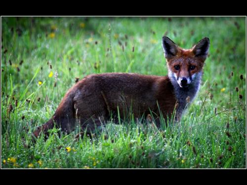 Adv Early Morning Young Fox Michael Mutimer Comm (1)