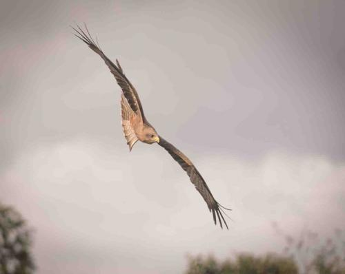 Beg Raptor in flight Steve Reeves Comm (1)