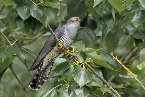 Inter Cuckoo Paul Lock 1st (1)