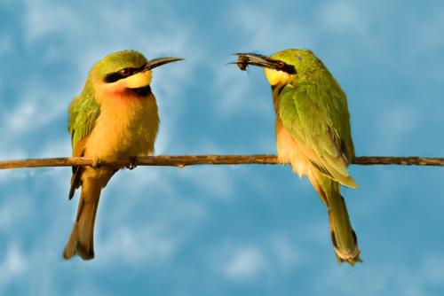 Inter Little Bee-eaters Paul Lock HComm (1)