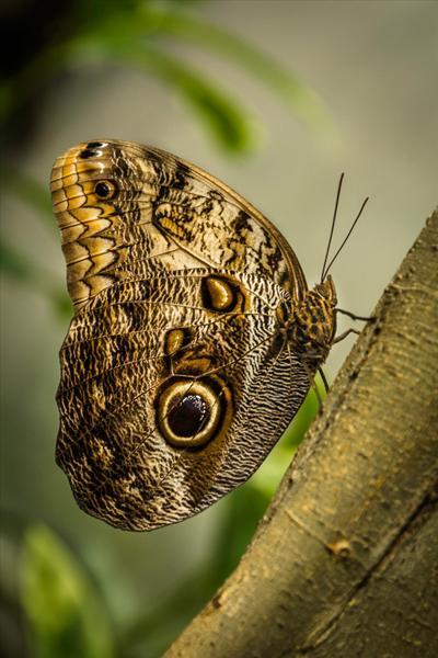 Inter Owl Butterfly Kay Marples HComm (1)