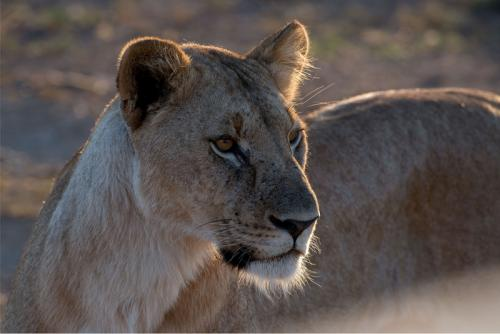 Inter Print  lioness backlit Jim Burton Comm (1)