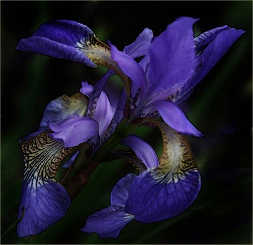 Inter Purple Iris Sheenagh Crumley 2nd (1)