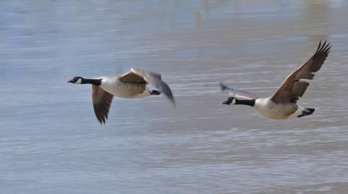 Beg Pdi - Comm Geese in flight Vic Crumley