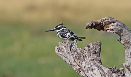 Beg Pdi - Comm Pied Kingfisher Edna Lock
