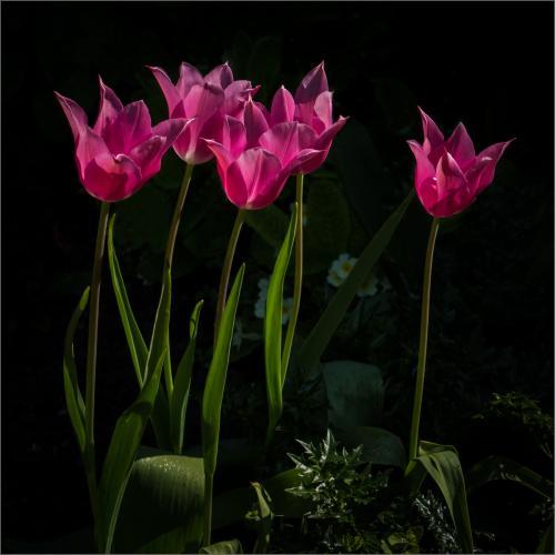Beg Pdi - HComm Five Tulips Stephen Oakes
