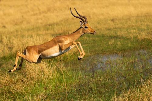 Inter PDi - Third Impala Leaping Paul Lock