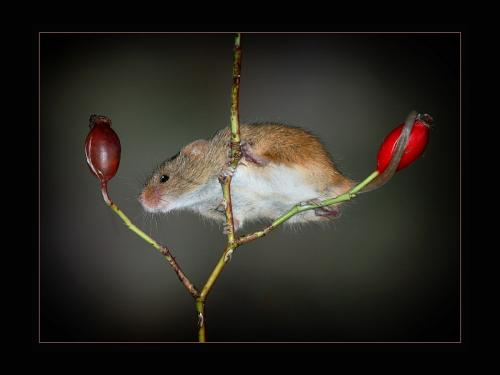 Advanced Pdi 1st Harvest Mouse and the search for Food Michael Mutimer