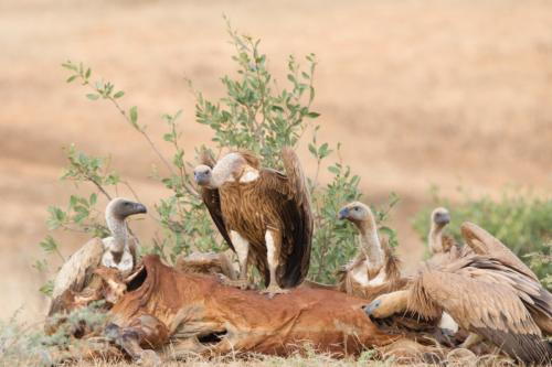 Intermdiate Print  3rd Vultures enjoying a carcass meal Paul lock